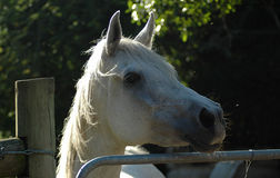 Arab horse stock image