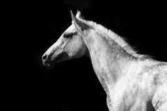 Arab horse. On a black in black and white Royalty Free Stock Photography