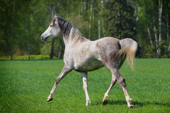 Arab horse Stock Photography