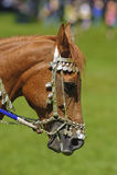 Arab horse Stock Photos