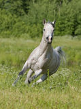 Arab horse. Free grey arab horse in summer field Stock Images