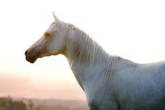 Arab horse Royalty Free Stock Photos