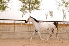 Arab horse. In a farm of beijing Royalty Free Stock Photo