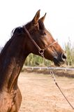 Arab horse. In a farm of beijing Stock Photography