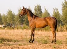 Arab horse. In a farm of beijing Royalty Free Stock Photography
