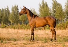 Arab horse. In a farm of beijing Stock Images