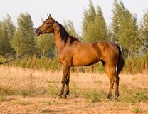 Arab horse. In a farm of beijing Stock Photos