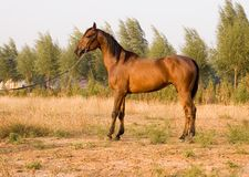 Arab horse. In a farm of beijing Royalty Free Stock Image