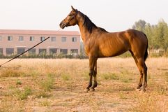 Arab horse. In a farm of beijing Stock Image