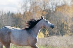 Arab horse in autumn Stock Images