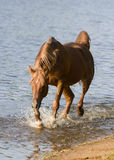 Arab horse in blue water Royalty Free Stock Photography