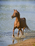 Arab horse in blue water Royalty Free Stock Images