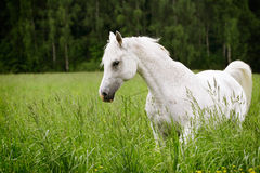 Arab horse in field Stock Image