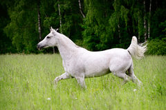 Arab horse in field Stock Images