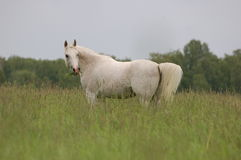 Arab horse in the field Royalty Free Stock Photography