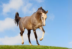 Arab horse in field Royalty Free Stock Photography