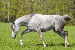 Arab horse free Royalty Free Stock Photos