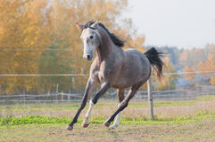 Arab horse free Stock Photos