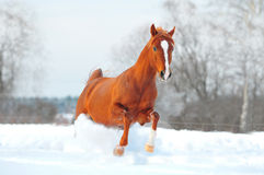 Arab horse free in winter Stock Images