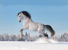 Arab horse galloping in winter. Grey arab horse galloping in winter Royalty Free Stock Photography