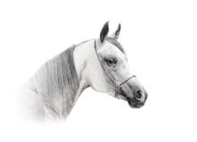 Arab horse isolated. Arabian dapple gray horse isolated over a white Royalty Free Stock Photos