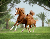 Arab horse mare with foal out at grass with palms background beh Royalty Free Stock Image