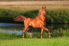 Arab horse on the meadow Royalty Free Stock Photos