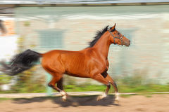 Arab horse in motion. Bay arab horse in motion Royalty Free Stock Images