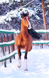 Arab horse moving with winter background behind Royalty Free Stock Photo