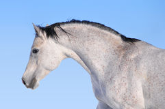 Arab horse portrait Royalty Free Stock Photos