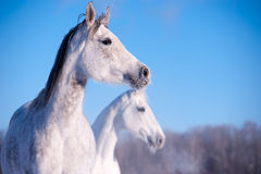 Arab horse portrait Stock Images