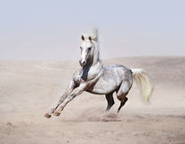 Arab horse running in desert Stock Photos