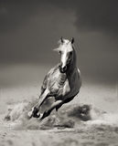 Arab horse running in desert Royalty Free Stock Photo