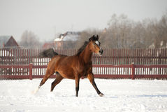 Arab horse runs. In a winter field Stock Photos