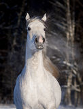 Arab horse runs free in winter portrait Stock Photos