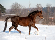 Arab horse runs in winter Royalty Free Stock Photography