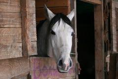 Arabian horse in stall stock image