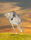 Arab horse in sunset. Galloping Royalty Free Stock Photo