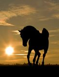 Arab horse in sunset. Arab horse silhouette on a sunset sky at the background Royalty Free Stock Images