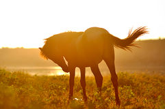Arab horse on a sunset. Arab horse silhouette on a sunset sky at the background Royalty Free Stock Photography