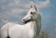 Arab horse. The white arab horse on blue background Stock Photography