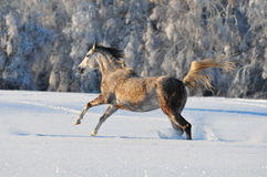 Arab horse in winter Royalty Free Stock Photos