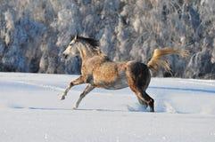 Arab horse in winter Royalty Free Stock Photos