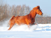 Arab horse in winter. Free running royalty free stock image