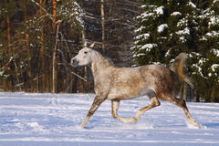 Arab horse in winter Royalty Free Stock Images