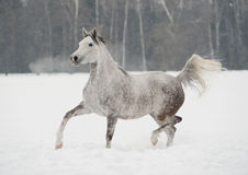 Arab horse in winter Royalty Free Stock Photo