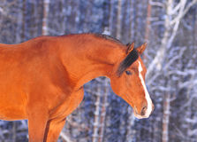Arab horse winter portrait Royalty Free Stock Photos
