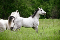 Arab horses Royalty Free Stock Photos
