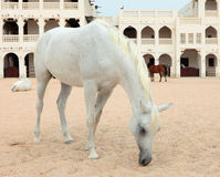 Arab horses in Doha, Qatar Stock Photo