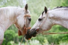 Arab horses love stock image